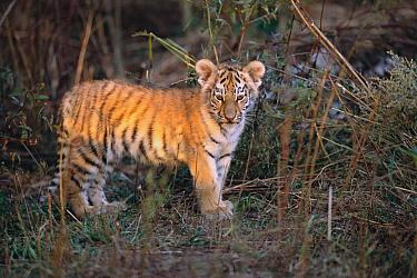 Siberian Tiger (Panthera tigris altaica) six months old cub, Russia  -  Toshiji Fukuda/ Nature Productio
