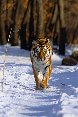 Siberian Tiger (Panthera tigris altaica) walking along a snowy trail, Russia  -  Toshiji Fukuda/ Nature Productio