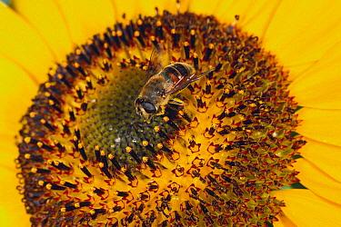Drone Fly (Eristalis tenax) on Common Sunflower (Helianthus annuus), Japan  -  Atsuo Fujimaru/ Nature Productio