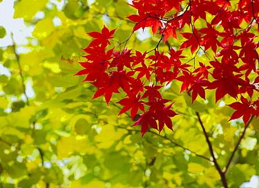 Maple (Acer sp) leaves, Kamikawa, Hokkaido, Japan  -  Masami Goto/ Nature Production