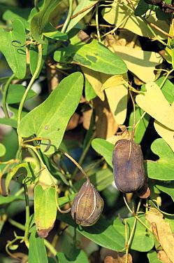 Ma Dou Ling (Aristolochia debilis) fruit, Hino, Tokyo, Japan  -  Takahisa Hirano/ Nature Producti