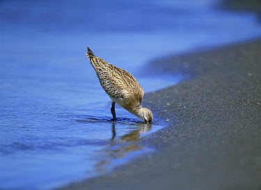 Bar-tailed Godwit (Limosa lapponica) foraging for small crustaceans on beach, Kanagawa, Japan  -  Kaoru Ishie/ Nature Production