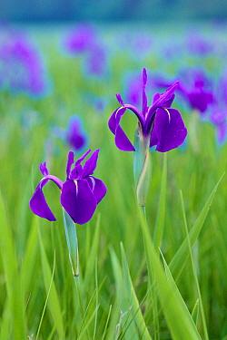 Rabbitear Iris (Iris laevigata) flowers, Aichi, Japan  -  Masashi Igari/ Nature Production