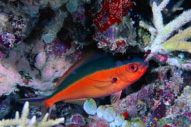 Bluestreak Fusilier (Pterocaesio tile) sleeping on coral reef, Maldives  -  Yasuaki Kagii/ Nature Production
