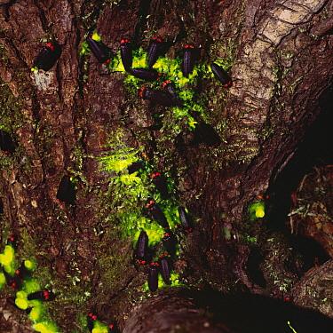 Japanese Firefly (Luciola cruciata) group laying eggs, Hakusan River, Oita, Japan  -  Satoshi Kuribayashi/ Nature Prod