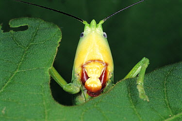 Katydid (Pseudorhynchus japonicus) face, Japan  -  Satoshi Kuribayashi/ Nature Prod