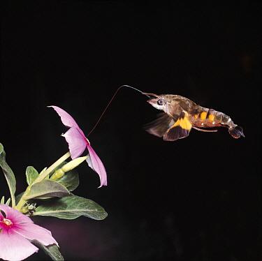 Hummingbird Hawk Moth (Macroglossum saga) feeding on Rosy Periwinkle (Catharanthus roseus), Japan  -  Satoshi Kuribayashi/ Nature Prod