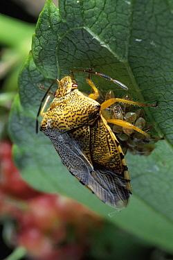 Shield Bug (Elasmucha dorsalis) mother protecting larva after hatching, Japan  -  Satoshi Kuribayashi/ Nature Prod