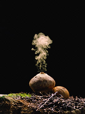 Devil's Snuffbox (Lycoperdon perlatum) releasing spores after being hit by a water droplet, Nagasaki, Japan. Sequence 3 of 4  -  Satoshi Kuribayashi/ Nature Prod