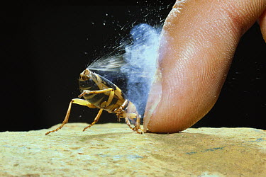 Bombardier Beetle (Pheropsophus jessoensis) protecting itself by ejecting a noxious chemical spray, Nagasaki, Japan  -  Satoshi Kuribayashi/ Nature Prod