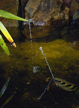 Banded Archerfish (Toxotes jaculator) pair spraying water at a prey, Nagasaki, Japan  -  Satoshi Kuribayashi/ Nature Prod