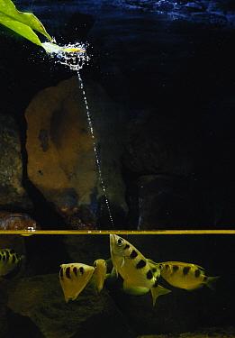 Banded Archerfish (Toxotes jaculator) spraying water at a prey on a leaf, Nagasaki, Japan  -  Satoshi Kuribayashi/ Nature Prod