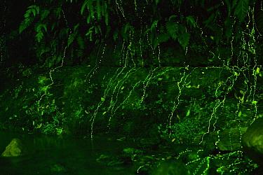 Japanese Firefly (Luciola cruciata) larva time exposure trails, Nagasaki, Japan  -  Satoshi Kuribayashi/ Nature Prod