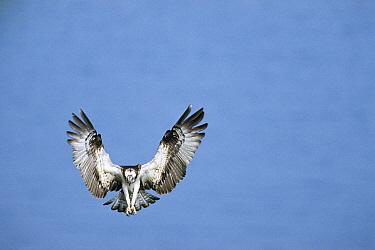 Osprey (Pandion haliaetus), Aomori, Japan  -  Tetsuo Kinoshita/ Nature Product