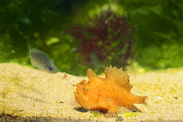 Striated Frogfish (Antennarius striatus) attracting juvenile Largescale Blackfish (Girella punctata) with lure, Nagasaki, Japan  -  Shinji Kusano/ Nature Production