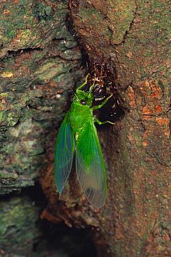 Cicada (Baeturia kuroiwae) female emerging from final instar, Okinawa, Japan  -  Kazuo Minato/ Nature Production