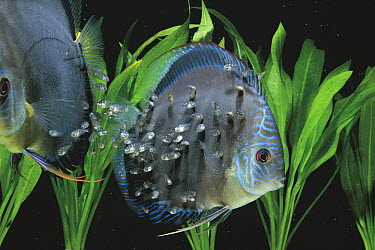 Blue Discus (Symphysodon aequifasciatus) young feeding on secretion from parent's body surface, Japan  -  Fumitoshi Mori/ Nature Productio
