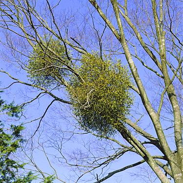 Mistletoe (Viscum album) growing in host tree, Japan  -  Ryukichi Kameda/ Nature Producti
