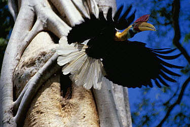 Sulawesi Red-knobbed Hornbill (Aceros cassidix) male flying out of nest, Sulawesi, Indonesia  -  Tetsuo Taguchi/ Nature Productio