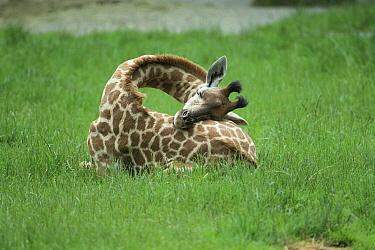 Giraffe (Giraffa sp) young sleeping, native to Africa  -  Mitsuyoshi Tatematsu/ Nature Pro
