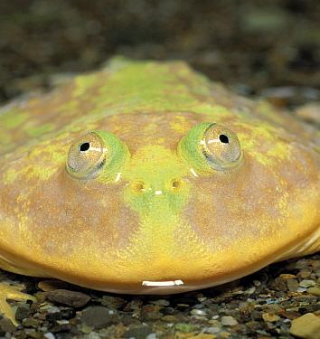Budget Frog (Lepidobatrachus laevis), Japan  -  Ryu Uchiyama/ Nature Production