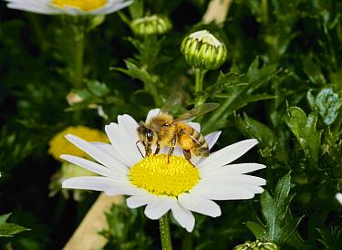 Honey Bee (Apis mellifera) feeding on Show Star Daisy (Leucanthemum paludosum), Japan  -  Kazuo Unno/ Nature Production