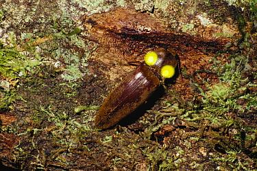 Brilliantly Luminous Beetle (Pyrophorus noctilucus) glowing, Brazil  -  Kazuo Unno/ Nature Production