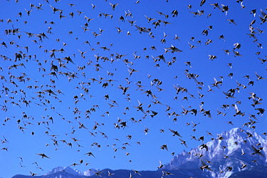 Asian Rosy-Finch (Leucosticte arctoa) flock flying, Yatsugatake, Nagano, Japan  -  Gouichi Wada/ Nature Production