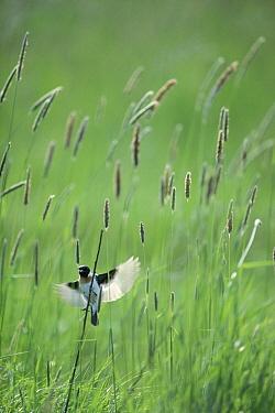 Common Stonechat (Saxicola torquata) landing on Timothy Grass (Phleum pratense), Japan  -  Gouichi Wada/ Nature Production
