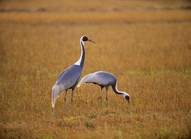White-naped Crane (Grus vipio) pair, Izumi, Kagoshima, Japan  -  Norio Yamagata/ Nature Productio