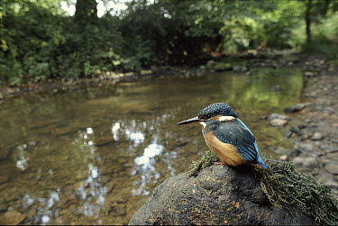 Common Kingfisher (Alcedo atthis) on river bank, Somerset, United Kingdom  -  Warwick Sloss/ npl