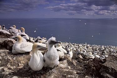 Northern Gannet (Morus bassanus) nesting colony, Bass Rock, Scotland  -  Warwick Sloss/ npl