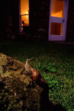 Brown Garden Snail (Helix aspersa) in urban garden at night, United Kingdom  -  Warwick Sloss/ npl