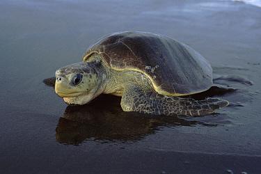 Olive Ridley Sea Turtle (Lepidochelys olivacea) coming ashore to lay eggs, Costa Rica, Pacific Coast  -  Tim Martin/ npl