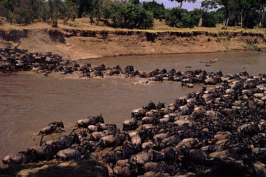Blue Wildebeest (Connochaetes taurinus) herd crossing Mara river, Masai Mara National Park, Kenya  -  Keith Scholey/ npl