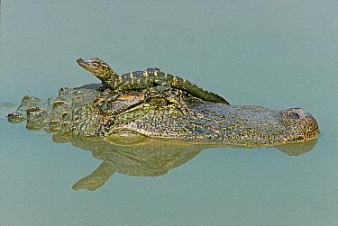 American Alligator (Alligator mississippiensis) female carrying baby on head, Texas  -  David Kjaer/ npl
