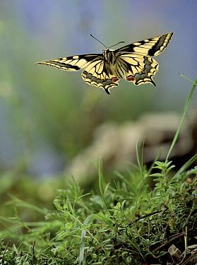 Oldworld Swallowtail (Papilio machaon) flying, Germany  -  Hans Christoph Kappel/ npl