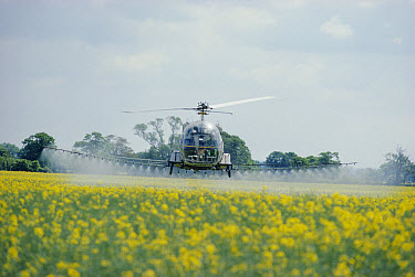 Oil Seed Rape (Brassica napus) field sprayed with pesticide by helicopter, Humberside, England  -  Keith Scholey/ npl