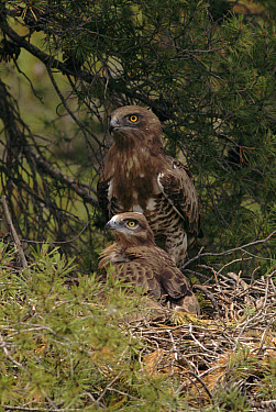 Short-toed Snake-Eagle (Circaetus gallicus) and chick at nest, Spain  -  Jose B. Ruiz/ npl