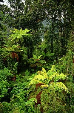 Tree ferns (Cyatheaceae), South Island, New Zealand  -  Phil Chapman/ npl
