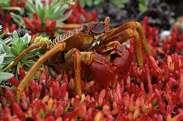 Sally Lightfoot Crab (Grapsus grapsus) feeding on cliff top turf, Henderson Island  -  Phil Chapman/ npl