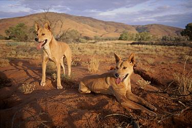 Dingo (Canis lupus dingo) male standing and female panting, Australia  -  Simon King/ npl