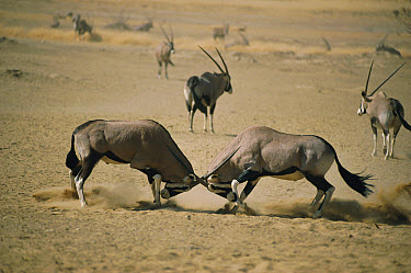 South African Gemsbok (Oryx gazella) males fight for territory, Kalahari National Park, South Africa  -  Ron O'Connor/ npl