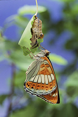 Poplar Admiral (Limenitis populi) newley emerged from chrysalis, Germany Life cycle sequence 5  -  Hans Christoph Kappel/ npl