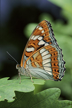 Poplar Admiral (Limenitis populi) butterfly female, Germany Life cycle sequence 6  -  Hans Christoph Kappel/ npl