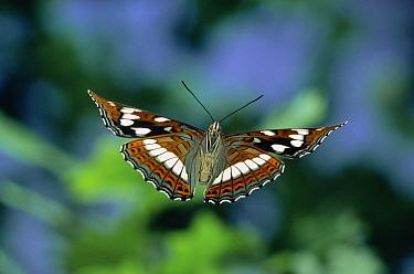 Poplar Admiral (Limenitis populi) butterfly flying, captive, Europe  -  Hans Christoph Kappel/ npl