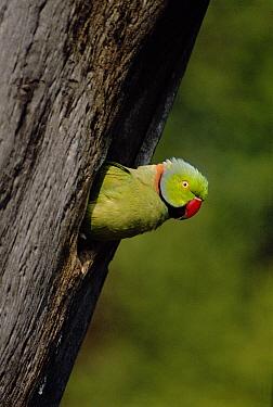 Rose-ringed Parakeet (Psittacula krameri) male looking out of nest hole, Keoladeo National Park, Bharatpur, India  -  Ashok Jain/ npl