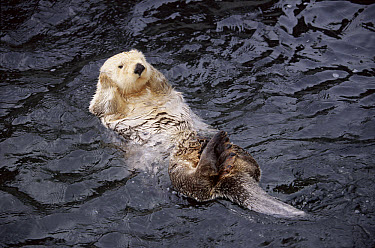 Sea Otter (Enhydra lutris) floating on back, Vancouver Aquarium, Canada  -  Hans Christoph Kappel/ npl