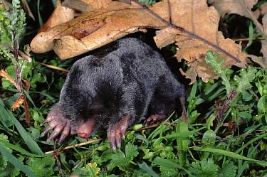 European Mole (Talpa europaea), Spain  -  Jose B. Ruiz/ npl