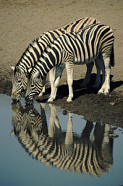 Burchell's Zebra (Equus burchellii) drinking at waterhole, Etosha National Park, Namibia  -  Ron O'Connor/ npl